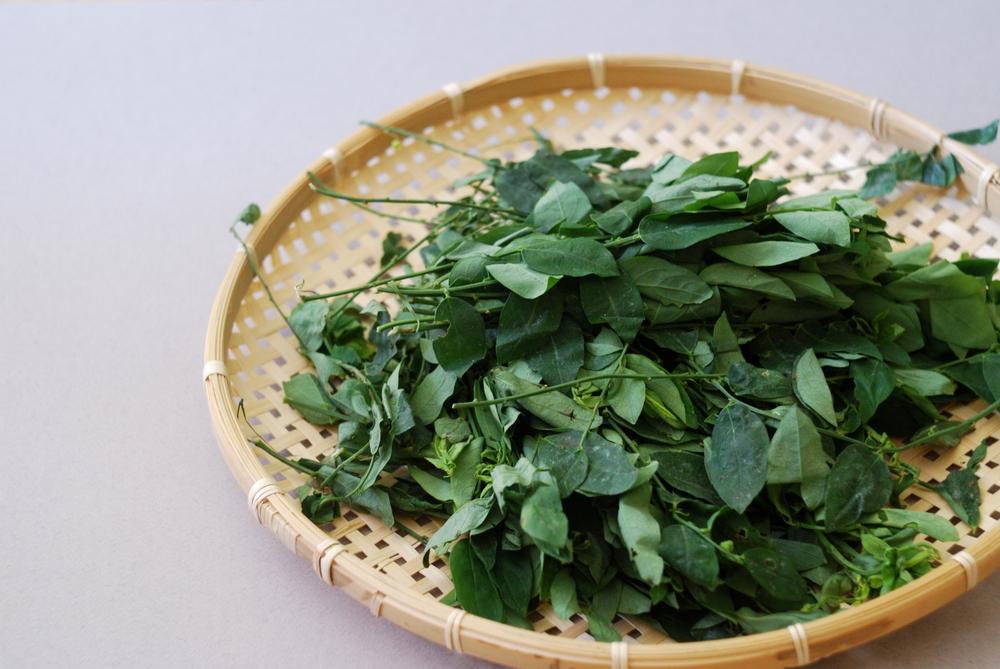 daun katuk untuk asi